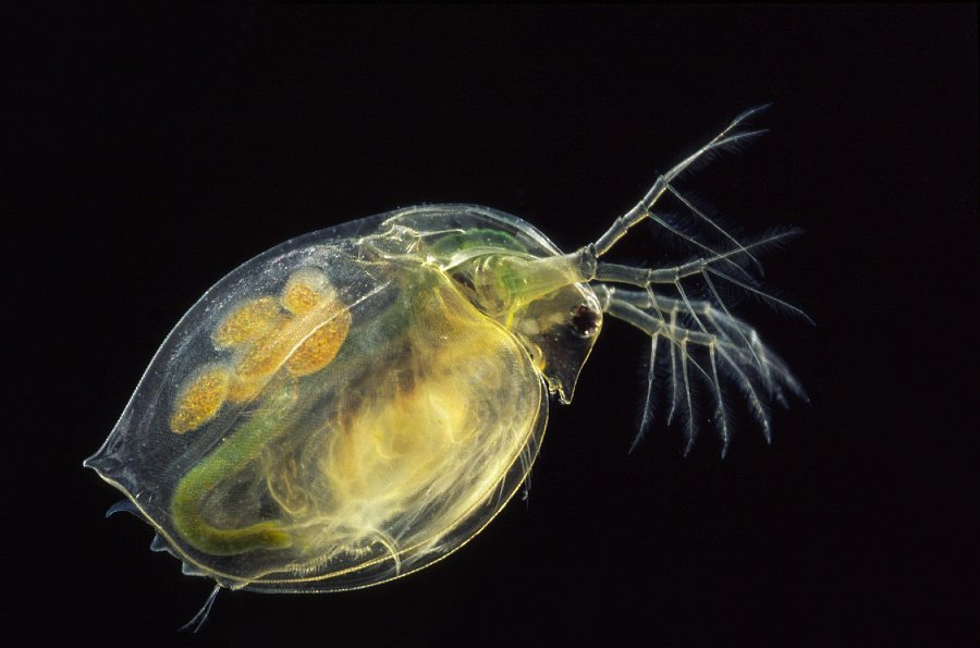 daphnia research Aggregating the world's open access research papers  core is providing a valuable service in support of repositories by aggregating the content repositories.